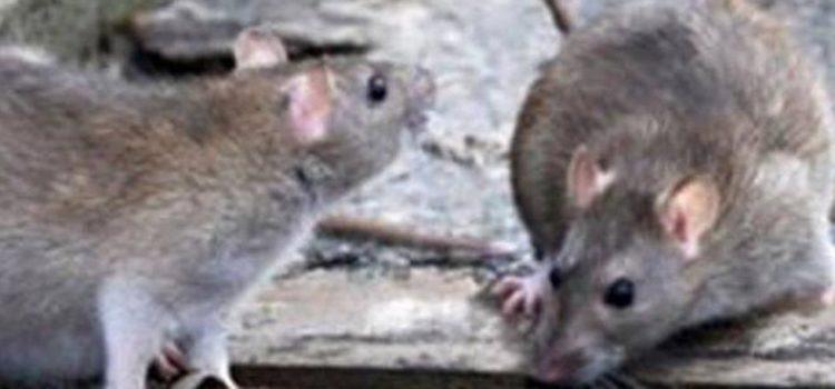 Emergenza ratti: scene indegne di un paese civile