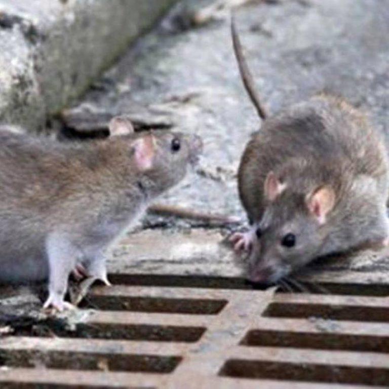 emergenza ratti